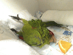 Conures of Telegraph Hill